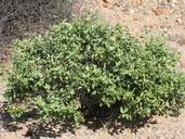 Ambrosia chenopodiifolia