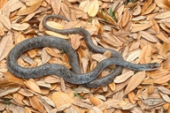 Coluber constrictor anthicus