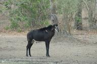 Hippotragus niger niger