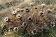 Stemless Carline Thistle