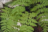 Cystopteris fragilis