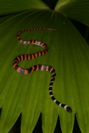 """Near Esquinas lodge. Found at night, streamside, 3 feet off of ground on palm leaf.<br /><strong>Location:</strong> Piedras Blancas National Park (Costa Rica)<br /><strong>Author:</strong> <a href=""""http://calphotos.berkeley.edu/cgi/photographer_query?where-name_full=Shawn+Mallan&one=T"""">Shawn Mallan</a>"""
