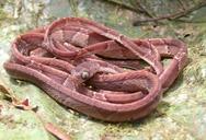 "<strong>Location:</strong> Madre Selva reserve, Peruvian Amazon (Peru)<br /><strong>Author:</strong> <a href=""http://calphotos.berkeley.edu/cgi/photographer_query?where-name_full=Shawn+Mallan&one=T"">Shawn Mallan</a>"