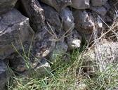 Cynodon dactylon