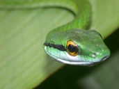 """Two found along main trail - one atop a palm frond 12 feet off of ground, one in a small stream<br /><strong>Location:</strong> Carara National Park (Costa Rica)<br /><strong>Author:</strong> <a href=""""http://calphotos.berkeley.edu/cgi/photographer_query?where-name_full=Shawn+Mallan&one=T"""">Shawn Mallan</a>"""