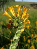 Amsinckia eastwoodiae