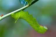 Darapsa myron
