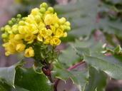 Mahonia pinnata ssp. pinnata