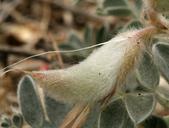 Astragalus coccineus