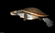 Jardine River Turtle