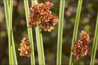 Juncus effusus ssp. effusus