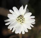 Hemizonia congesta ssp. luzulifolia