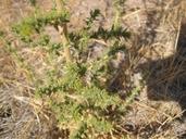Blepharizonia plumosa