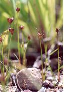 Juncus leiospermus