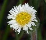 Erigeron lonchophyllus