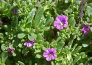 Petunia parviflora