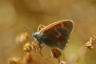 Coenonympha tullia california