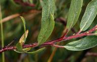 Salix boothii