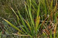 Carex fissuricola