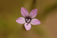 Allophyllum gilioides ssp. violaceum