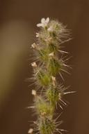 Cryptantha muricata