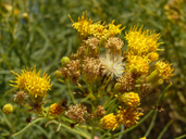 Ericameria arborescens