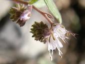 Phacelia stebbinsii