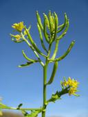 Rorippa curvisiliqua