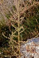 Bassia hyssopifolia