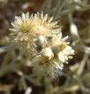 Pseudognaphalium canescens
