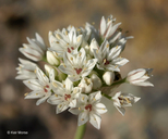 Allium lacunosum var. micranthum