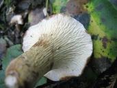 Gomphus floccosus