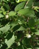 Rubus idaeus ssp. strigosus