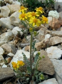 Lobe-leaved Groundsel