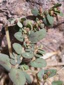 Chamaesyce abramsiana