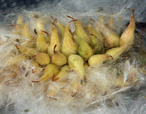 Salix planifolia