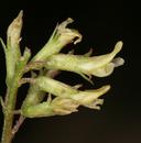 Astragalus lentiginosus var. ineptus