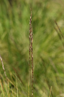 Stipa kingii