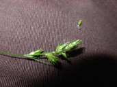 Carex leptopoda