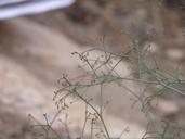 Eriogonum parishii