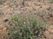 Monardella linoides ssp. oblonga