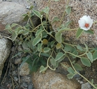 Hibiscus denudatus