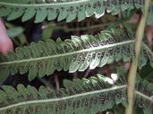 Thelypteris puberula var. sonorensis