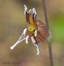 Streptanthus insignis ssp. insignis
