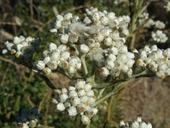 Gnaphalium californicum