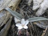 Claytonia lanceolata var. peirsonii