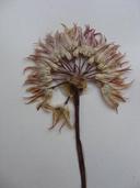 Allium parishii
