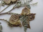 Astragalus lentiginosus var. antonius