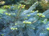 Abies lasiocarpa var. arizonica