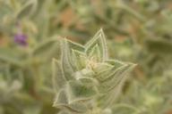 Trichostema ovatum